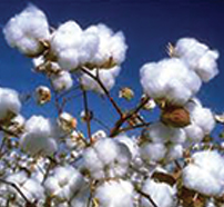 Chadian cotton