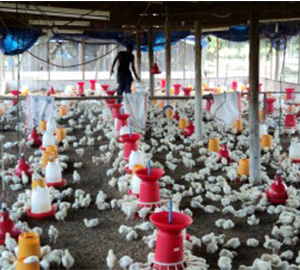 Quality Poultry Products - Gold'n Chiks Limited